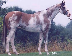 White thoroughbred stallion